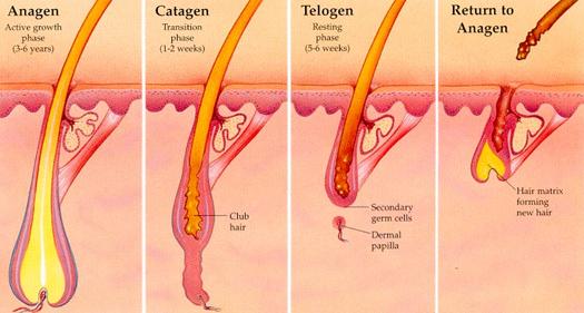 Human Hair Growth Cycle